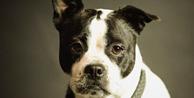 Cachorra com transtornos psicológicos destrói casa de cuidadora e dona terá de reembolsar
