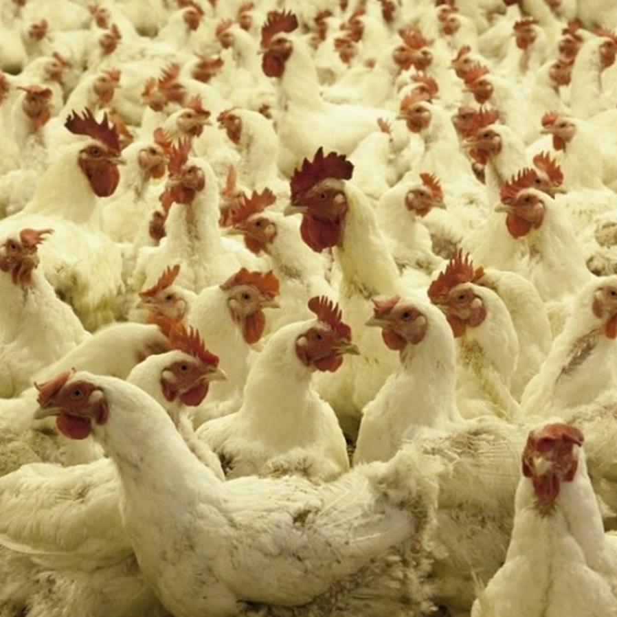 CPFL indenizará granja após falta de energia matar aves e prejudicar produção de ovos