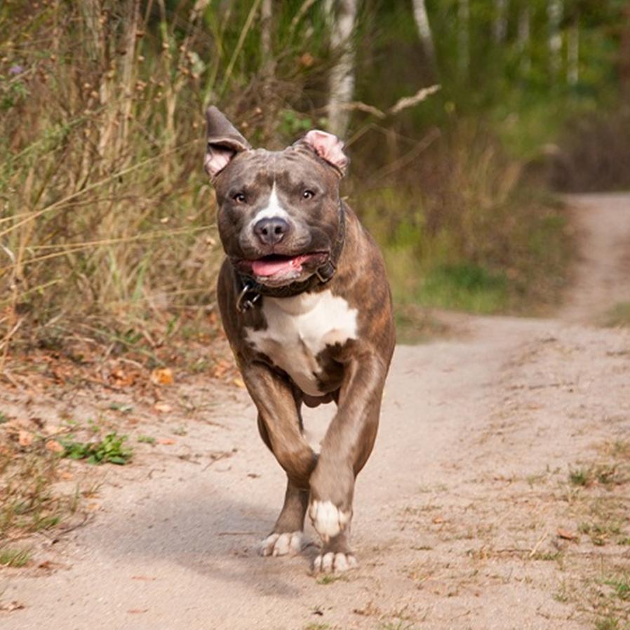 Dona de pitbull é condenada por ataque a animal de estimação alheio