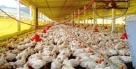 Sadia indenizará em R$ 300 mil por condições degradantes de trabalho
